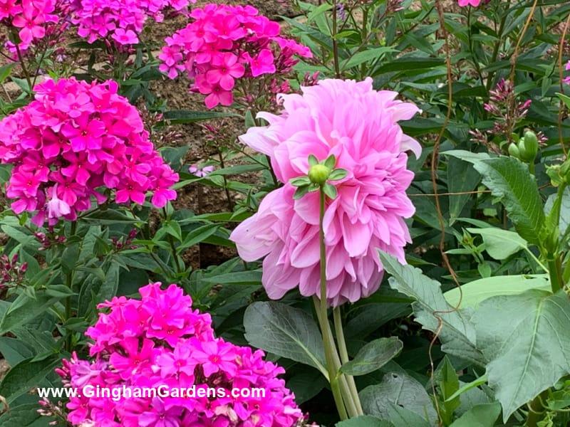 Pink Garden Phlox with a Pink Dahlia