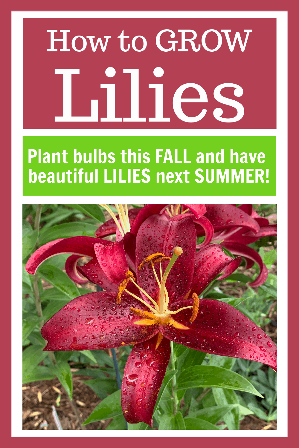 Image of Lilies with Text Overlay - How to Grow Lilies