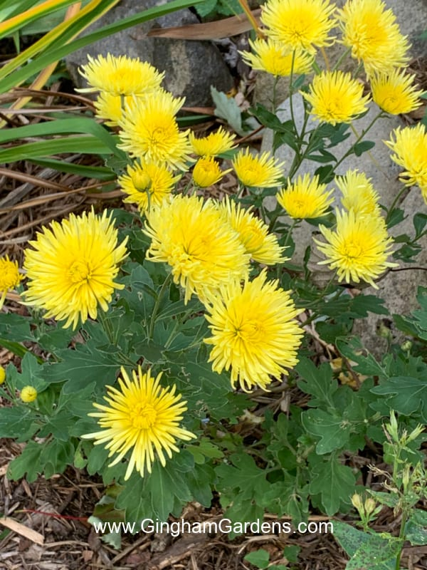 Image of Yellow Fall Mums