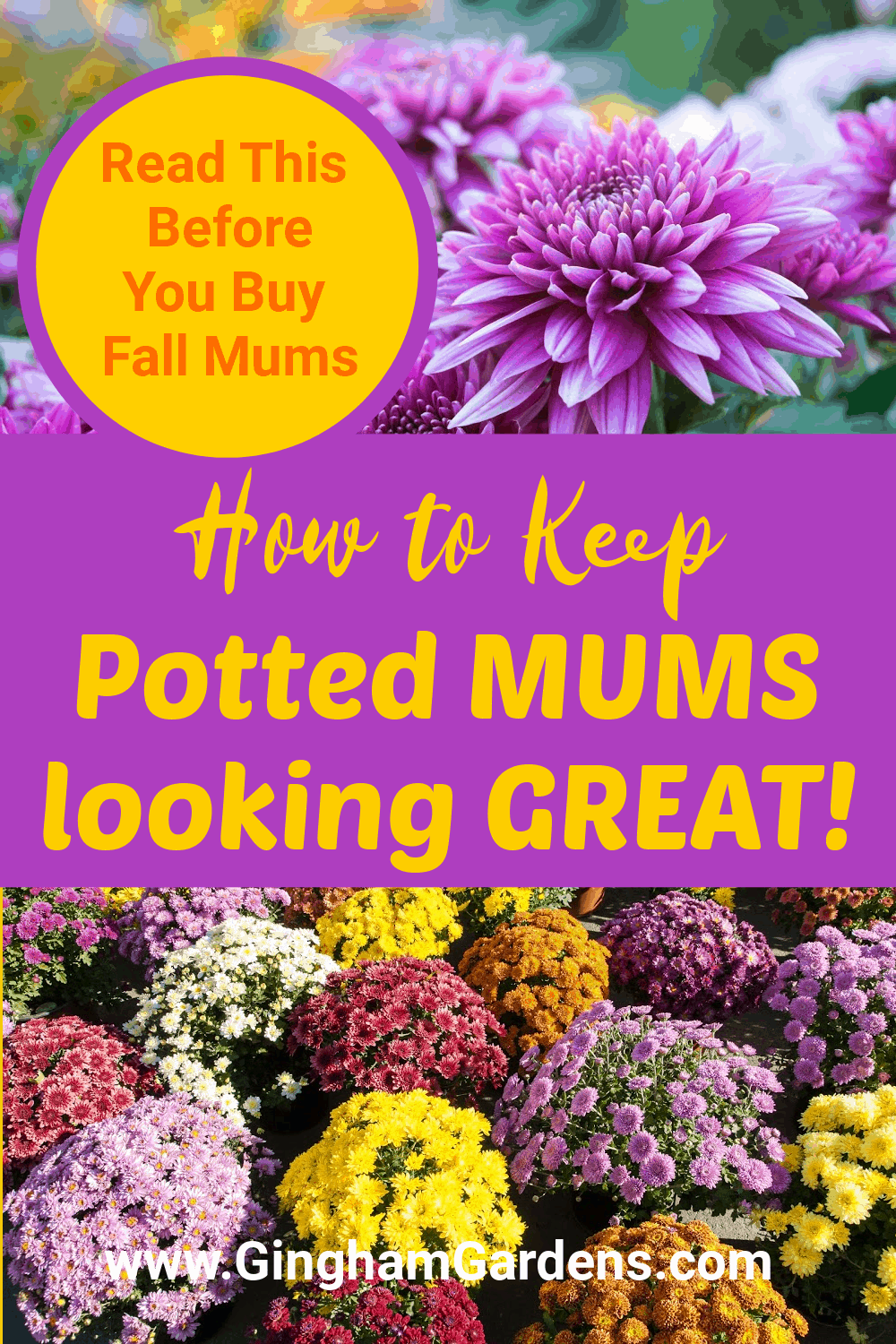 Image of Chrysanthemums with text overlay - how to keep potted mums looking great