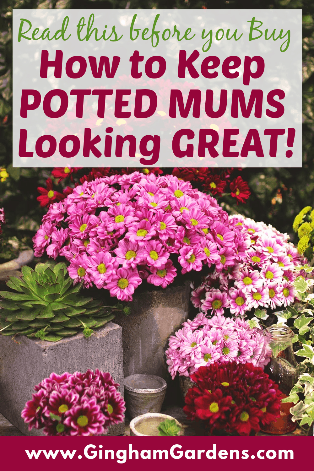 Image of Mum Flowers with Text Overlay - How to Keep Potted Mums Looking Great