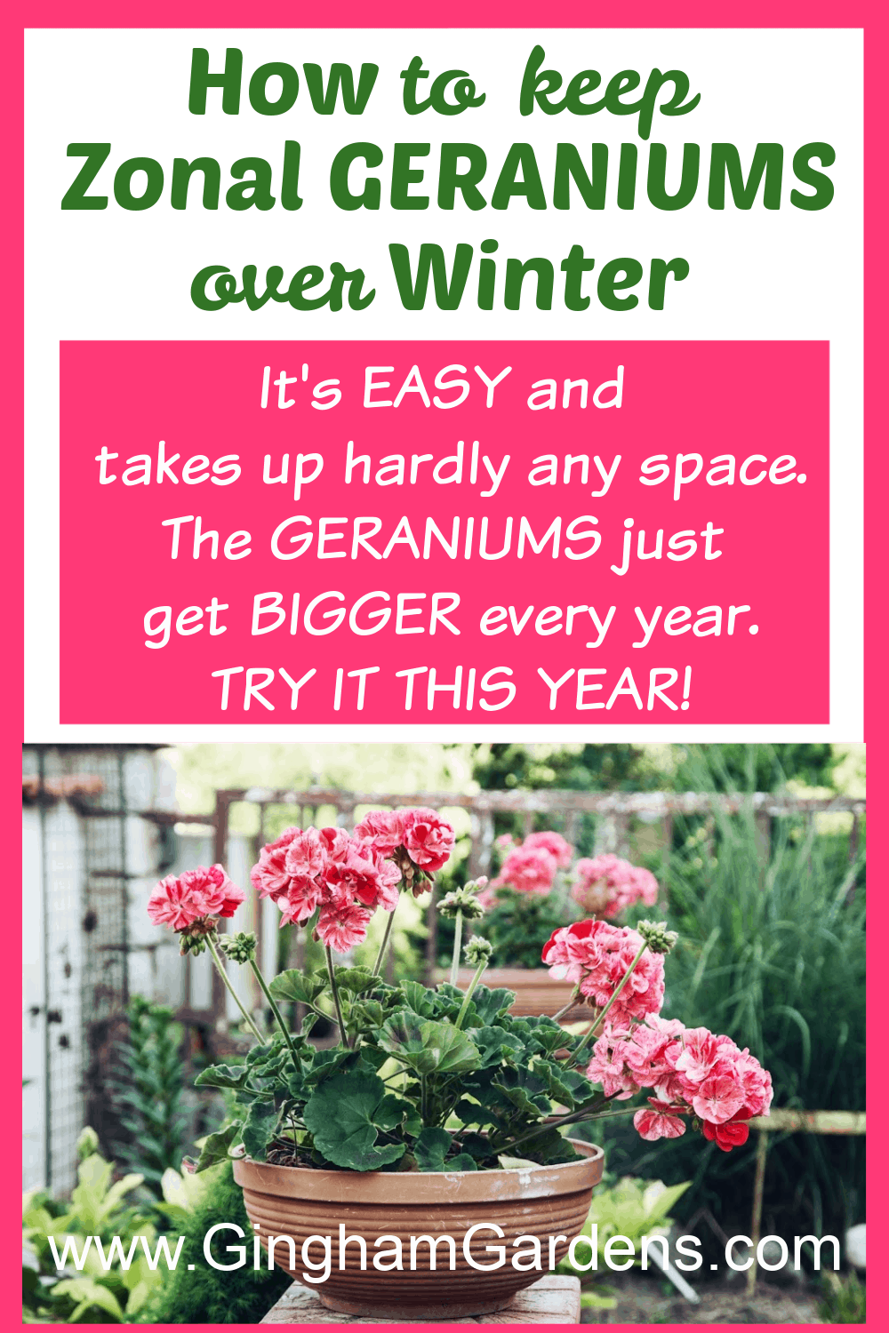 Image of Geranium Flowers with text overlay - How to Keep Zonal Geraniums over Winter