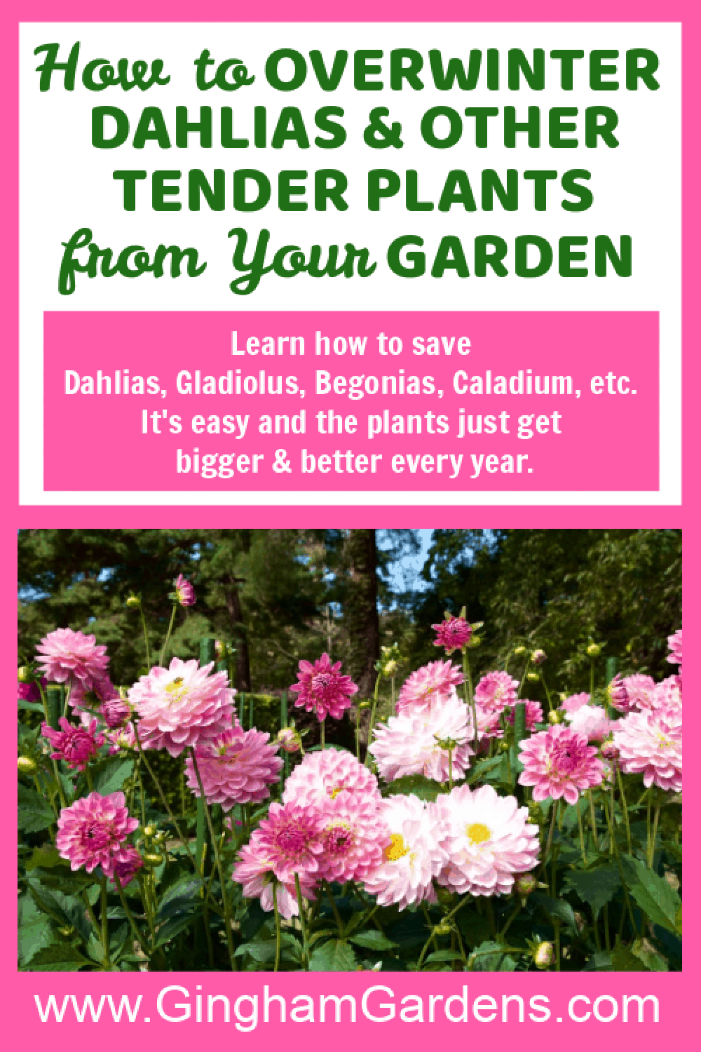Image of Dahlia Flowers - with text overlay - How to Overwinter Dahlias and other tender plants