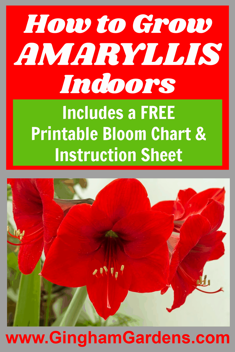 Image of a red amaryllis with text overlay - How to grow amaryllis indoors.
