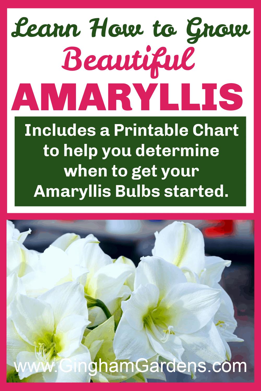 Image of Amaryllis with text overlay - Learn How to Grow Beautiful Amaryllis