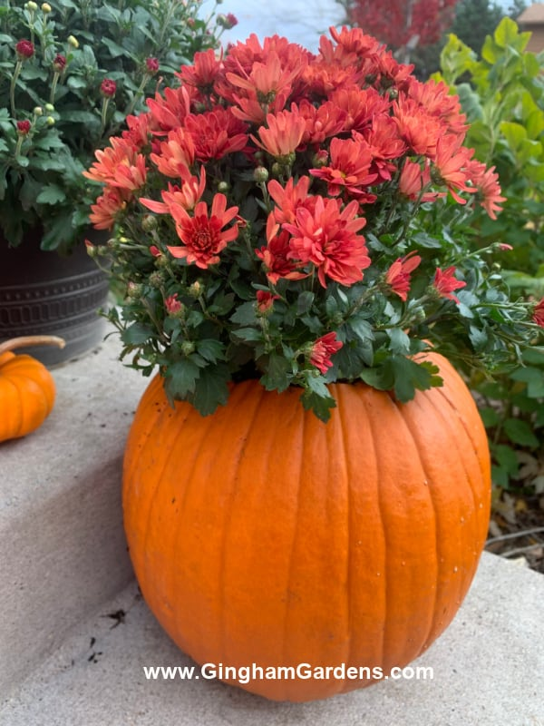 Image of a pumpkin planter with a mum
