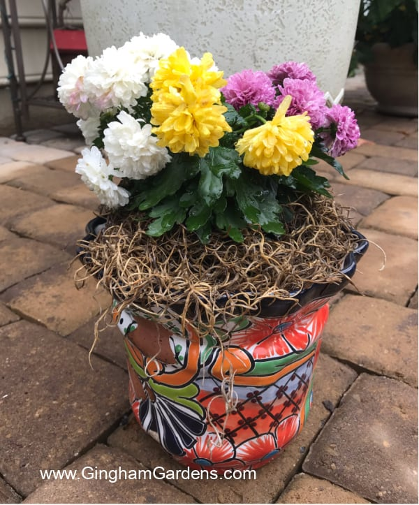 Image of fall planter with mums
