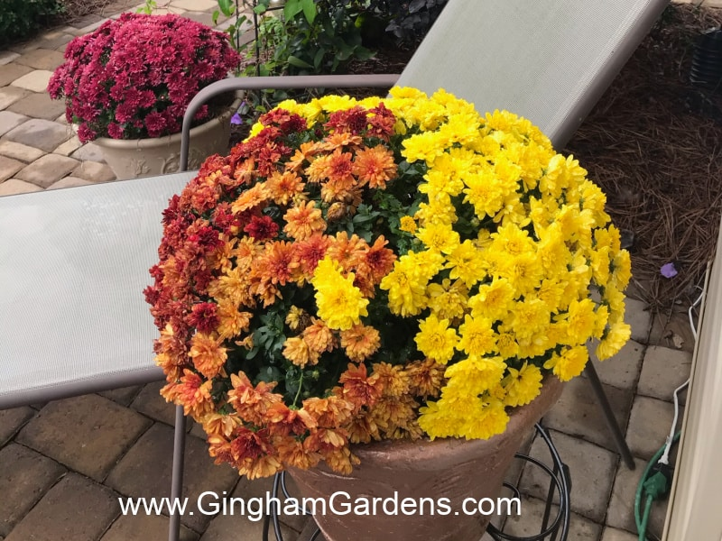 Image of potted mums