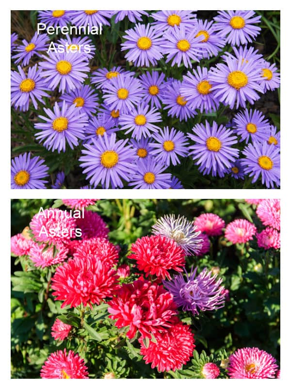Comparison of annual asters to perennial asters