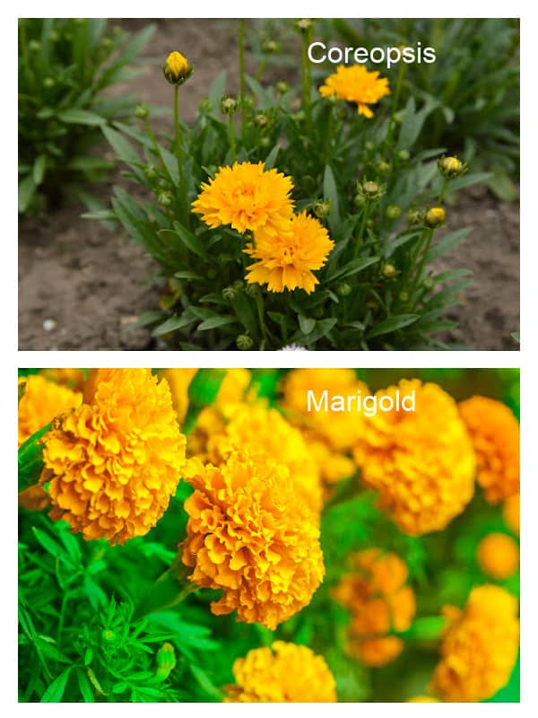 Image of Coreopsis and Marigold