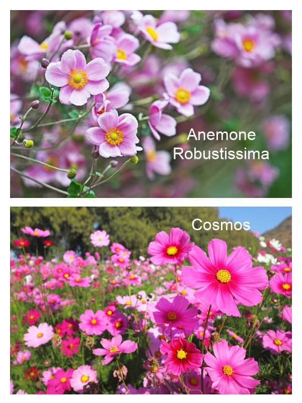 Images of cosmos and anemone flowers