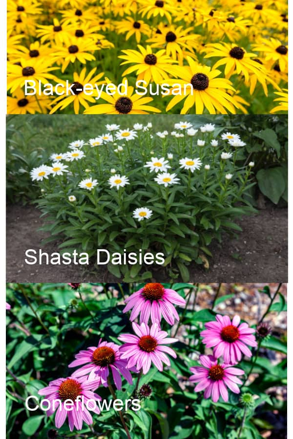 Images of Black-eyed Susan, Shasta Daisies & Coneflowers