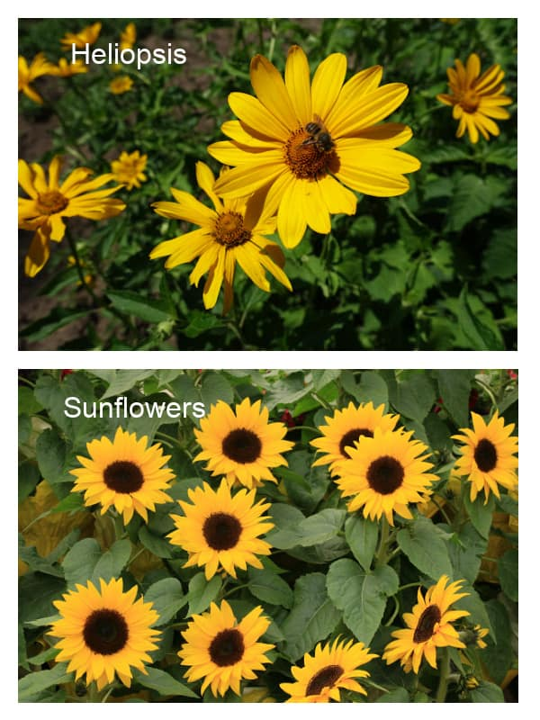 Comparison photo of perennial false sunflowers to annual sunflowers