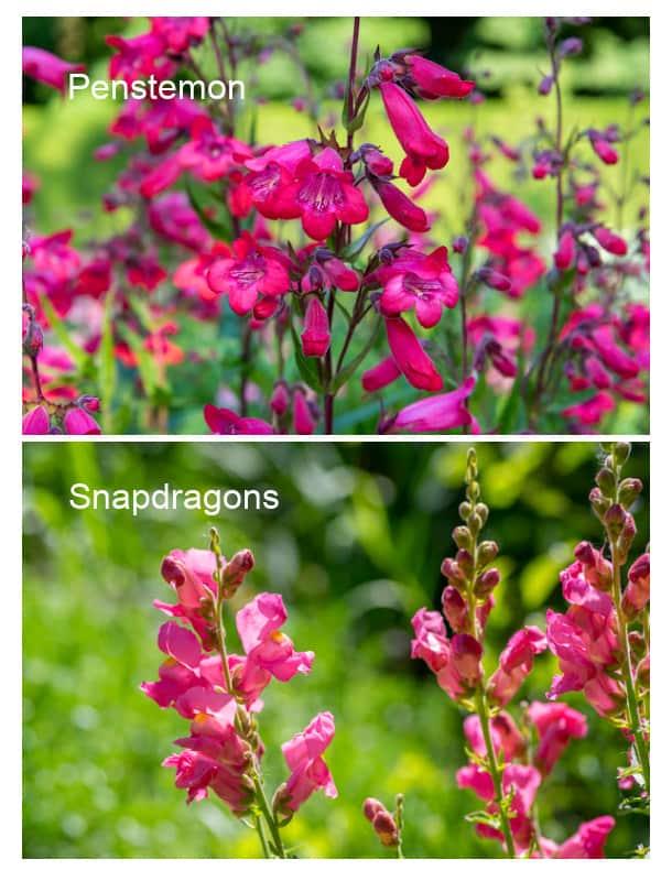 Comparison of snapdragons to penstemon