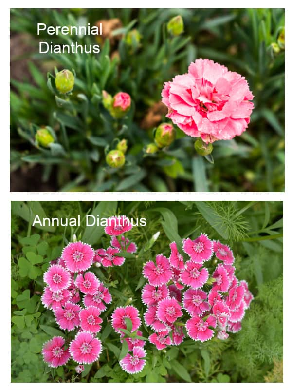 Comparison of annual dianthus to perennial dianthus