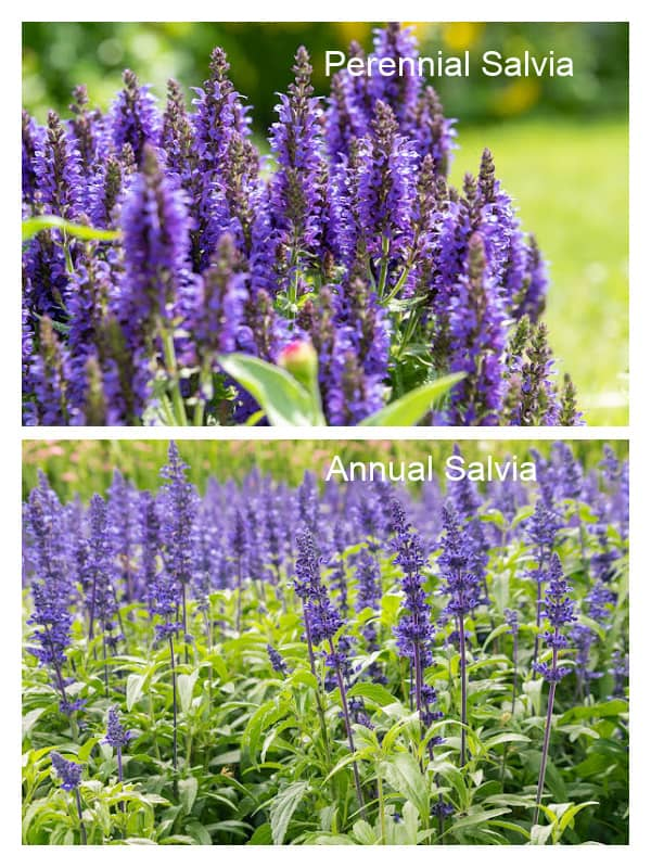 Images of annual salvia and perennial salvia