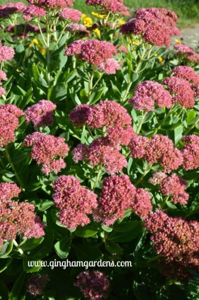 Autumn Joy Sedum, a tough perennial