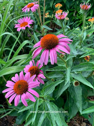 Coneflowers - Tough Perennials That Can Take Abuse