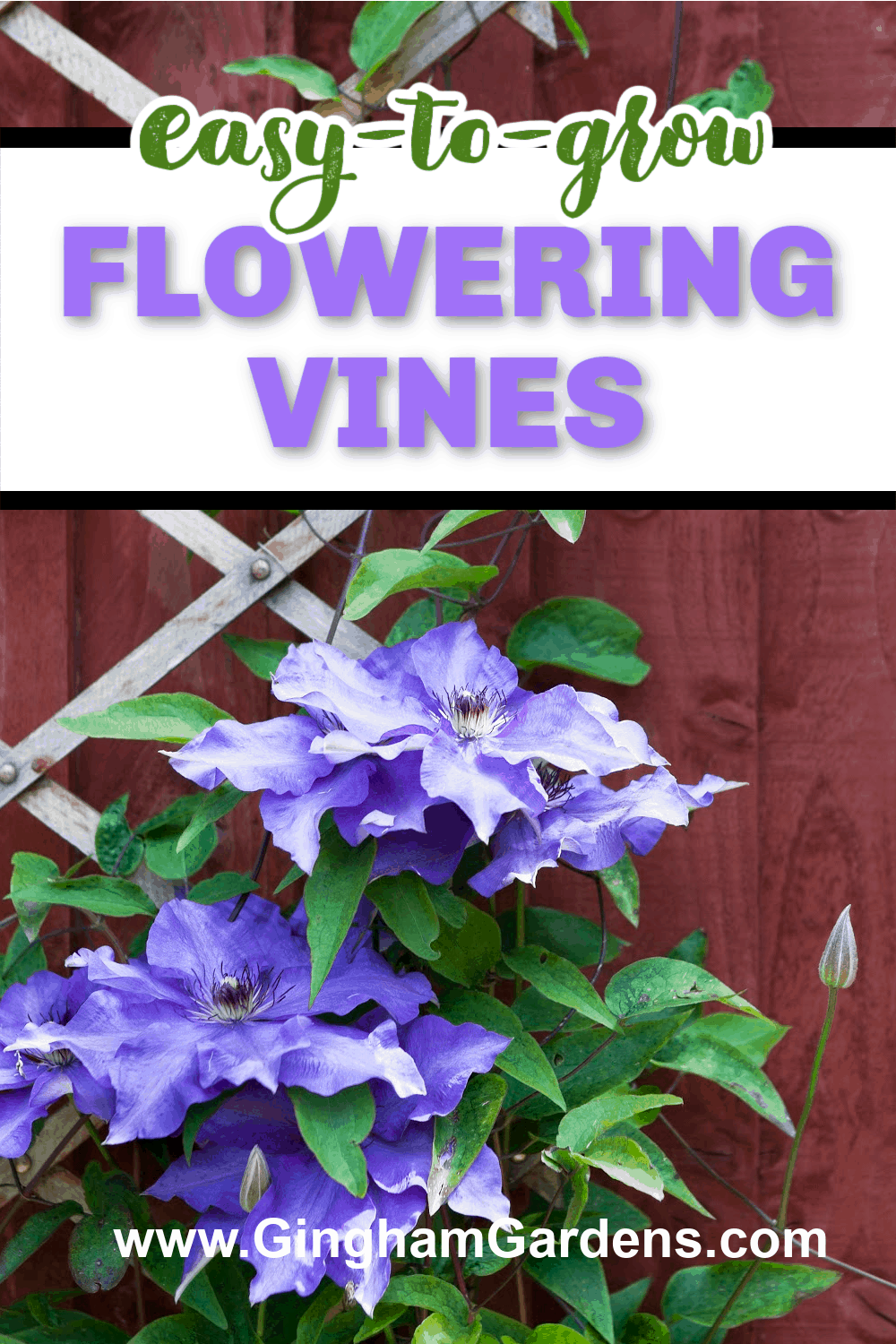 Image of a clematis vine with text overlay - Easy to Grow Flowering Vines