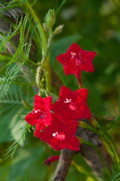 Cardinal Climber Flowering Vine