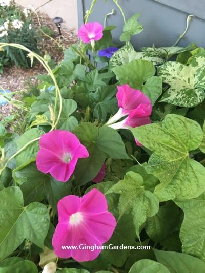Morning Glory - Best Flowering Vines for Your Garden
