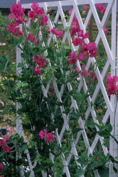 Sweet Pea Vine Growing on lattice trellis
