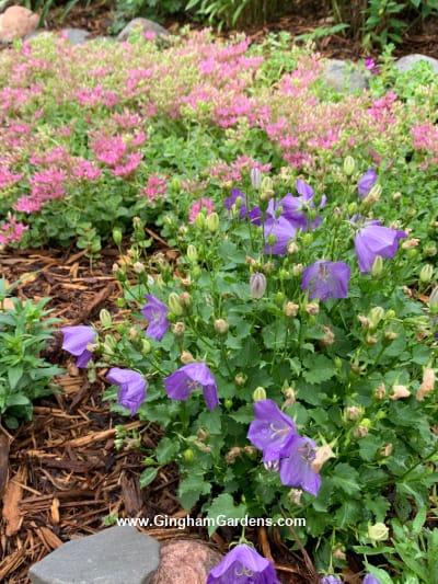 Image of Campanula and John Crech stonecrop in a flower garden