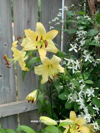 Lily in a flower garden